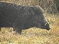 Wild Boar Sus scrofa by Dr. Raju Kasambe DSCN2803 (25).jpg