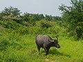 Wild buffalo udawalawe national park.jpg
