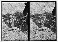 Wild flowers of Palestine. Wild rue (Haplophyllum Buxbaumii poir.). LOC matpc.05845.jpg