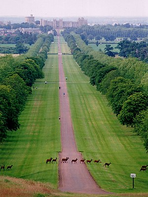 Royal forest - Deer crossing the Long Walk to Windsor Castle