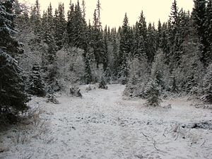 Winter-boreal-forest-Trondheim