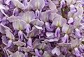 Wisteria sinensis, Christchurch Botanic Gardens, Canterbury, New Zealand 21.jpg