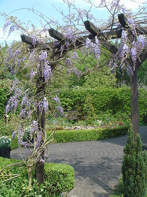 English: Wisteria sinensis in Garden