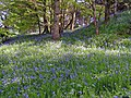 Woodland Flowers - geograph.org.uk - 1274052.jpg