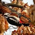 Woodpecker at work (24982947384).jpg