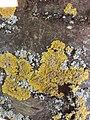 Xanthoria parietina 134381049.jpg