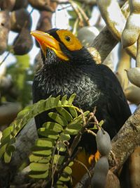 Yellow-faced Myna - Port Moresby - Papua NG 3 (22178597514).jpg