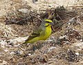 Yellow-fronted Canary Crithagra mozambica, male, feral, Mauritius 1.jpg