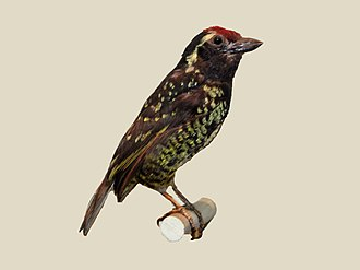 Yellow-spotted barbet - specimen at Nairobi National Museum