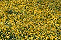 Yellow (7254890218).jpg