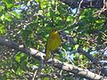 Yellow Warbler Singing - Flickr - GregTheBusker.jpg