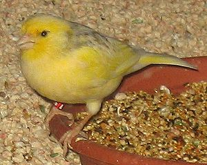 Atlantic canary - Domestic canary