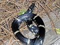 Yellow striped black snake.jpg