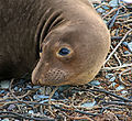 Young Elephant Seal (16935186342).jpg