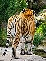 Zürich Zoo Amur Tiger (17351323832).jpg