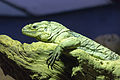 ZSL London - Rhinoceros iguana 01.jpg