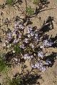 Zaluzianskya villosa (Scrophulariaceae) (23582819248).jpg