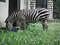 Zebra from Bannerghatta National Park 8645.JPG