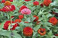Zinnias in bloom (14932345078).jpg