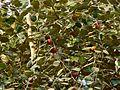 Zizyphus mauritiana (433676849).jpg