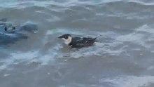 File:Zwemmende en duikende kleine alk-4961715.webm