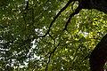 'Aesculus hippocastanum' horse-chestnut conker tree at Feeringbury Manor, Feering Essex England 6.jpg
