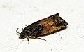 (1138) Epinotia nisella (4820982455).jpg