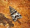 (1344) Eudonia mercurella (27956013342).jpg