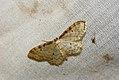 (1705) Dwarf Cream Wave (Idaea fuscovenosa) (3686016570).jpg