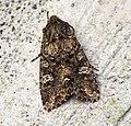(2154) Cabbage Moth (Mamestra brassicae) - Flickr - Bennyboymothman.jpg