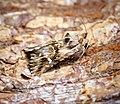 (2223) Toadflax Brocade (Calophasia lunula) (36058941811).jpg
