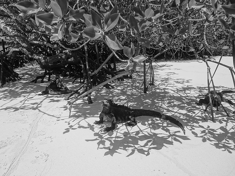 Datei:(Amblyrhynchus cristatus) Galápagos Islands at Tortuga Bay Santa Cruz Island.JPG