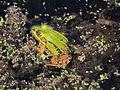 Żaba jeziorkowa, Sianożątka, Puszcza Knyszyńska 20120428 07.JPG