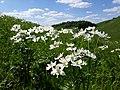 Анемона розлога (Anemone laxa) на схилах Касової гори.jpg