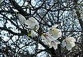 Ботанічний сад ім. акад. Фоміна, квітують магнолії.jpg