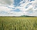 Вид на бештау с пшеничного поля.jpg