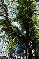 Вікові дерева на Володимирській.jpg