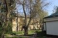 Вікові дерева софори японської вул. Китаївська 01.JPG