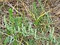 Голубянка (Lycaenidae) в типовому біотопі.jpg
