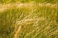 Коваль в поле Ботанического сада ЮФУ.jpg