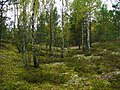 Молодой лес на полигоне. (Young forest at the site) - panoramio.jpg