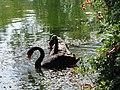 Новый Афон. Лебеди в Приморском парке - panoramio.jpg