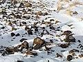بارش برف در روستای جاسب قم- قله ولیجیا 17.jpg