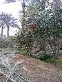 بستان نخيل في الخالص 110.jpg