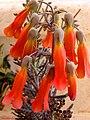 زهور نبتة الثريا.jpg