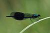 ♂ Gebänderte Prachtlibelle Calopteryx splendens 5.JPG