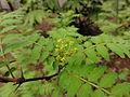サンショウ(山椒)(Zanthoxylum piperitum)-花 (5845108326).jpg