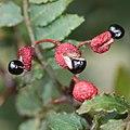 サンショウ Zanthoxylum piperitum (seed s3).jpg