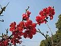 一品香海棠 Chaenomeles speciosa 'Top Fragrance' -南京莫愁湖 Nanjing Mochou Lake, China- (32744106824).jpg