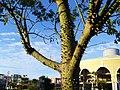 嘿嘿,谁敢爬这树! - panoramio.jpg